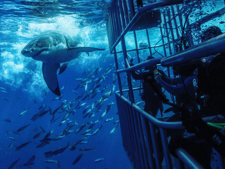 Shark Cage Diving at Guadalupe Island | Scuba Diving Blog