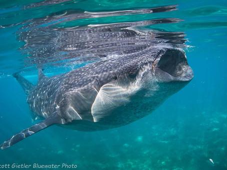 Whale Shark Diving | Scuba Diving Blog