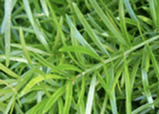 "4.5 "" Asparagus Fern"
