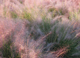 Grass- Muhly Fast Forward