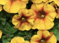 Petunia Caramel Yellow