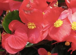 Dragonwing Begonia Red