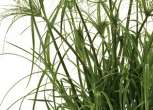 Grass - King Tut