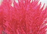 Celosia Dragon's Breath
