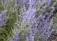 Salvia Perovskia Denim & Lace