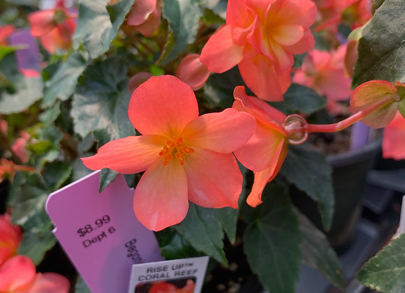 """6"""" Begonias"""