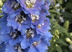 Delphinium Light Blue White Bee