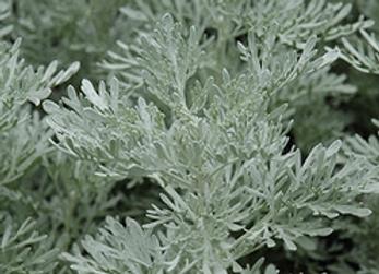Artemisia Parfum D'ethiopia