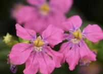 Cuphea Floriglory