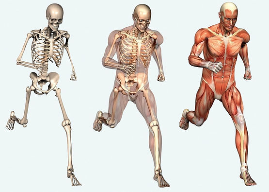 human-skeletal-system-free-picture.jpg