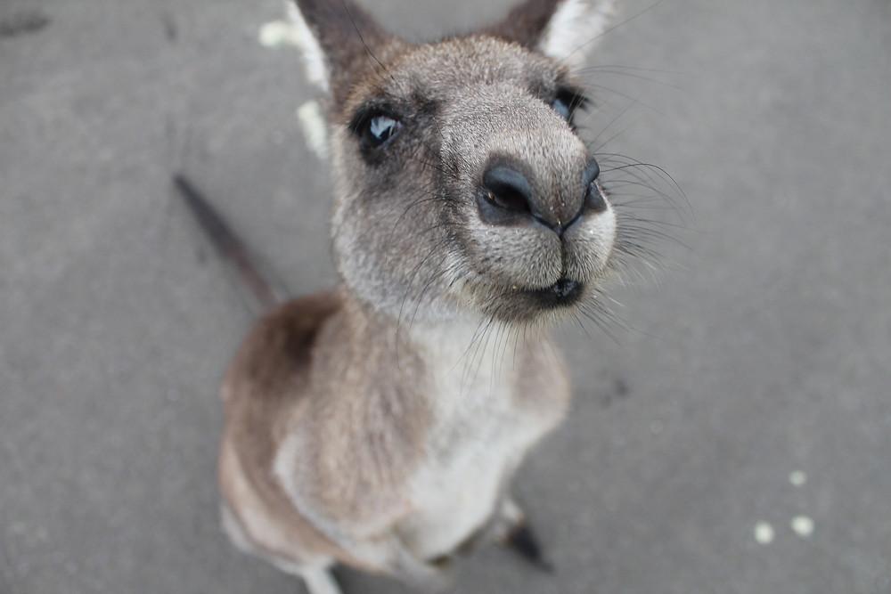 Kangaroo up close