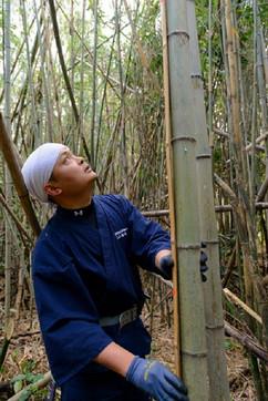 真竹の切り出し Cutting bamboos.