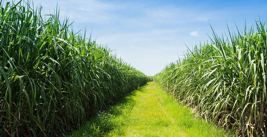 Monkey Cane fields of Sugarcane