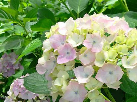 藤森神社的紫陽花祭