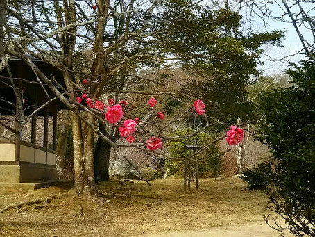 Plum Flowers at Arashiyama Kameyama Park!