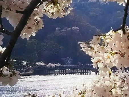 嵐山的櫻花!