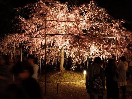 히라노 신사의 벚꽃 라이트 업