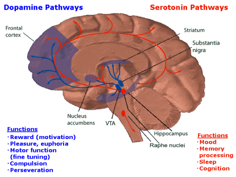 Dopamine and Serotonin Pathways