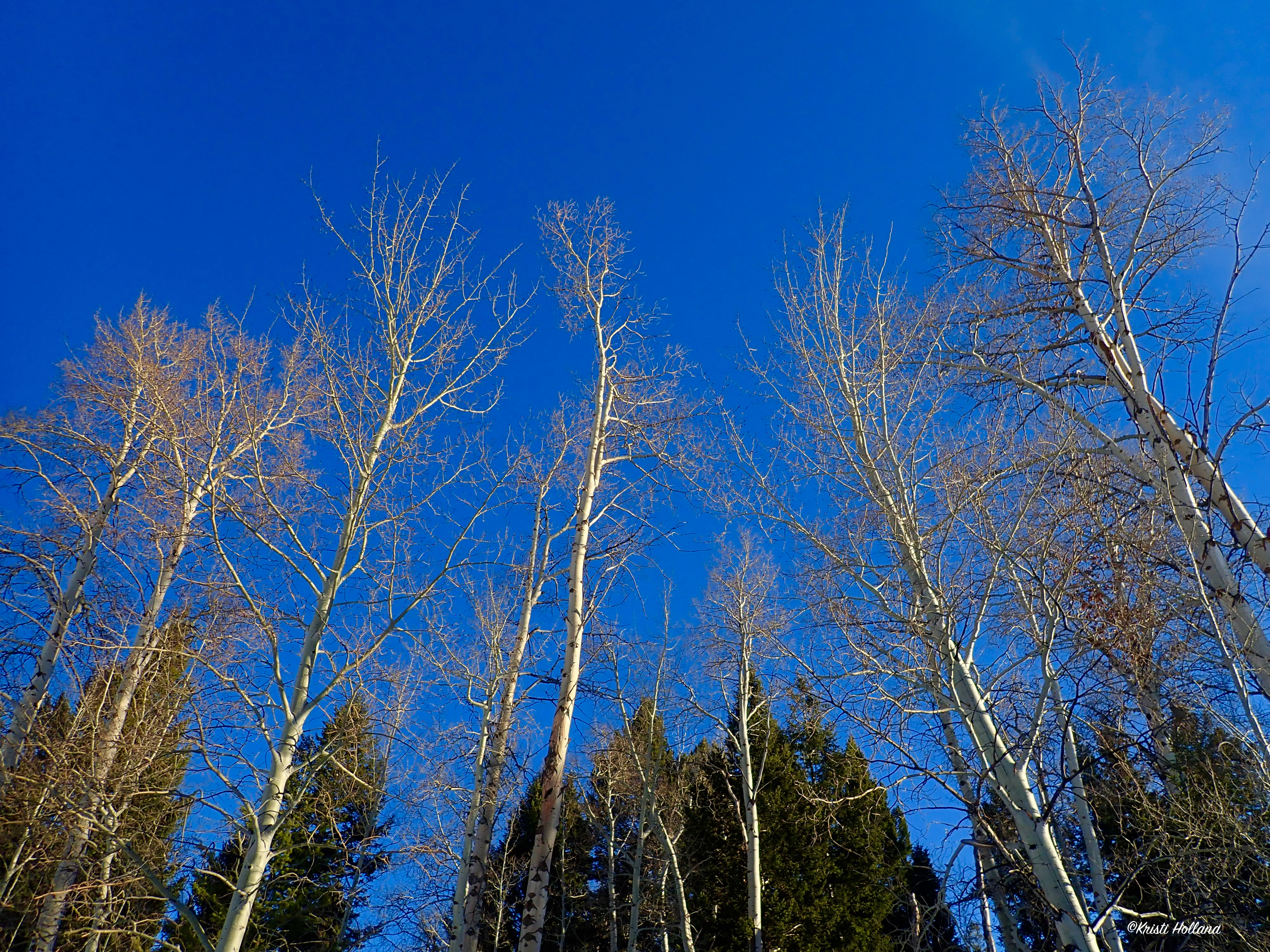 Blue_skytrees_looking_up