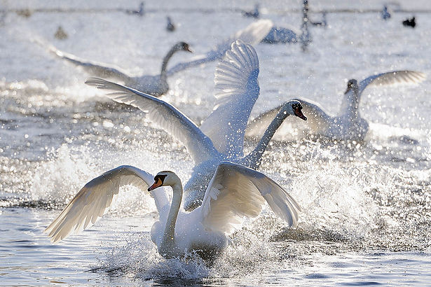 Nature-Scot-Mute-Swans-landing-on-a-froz