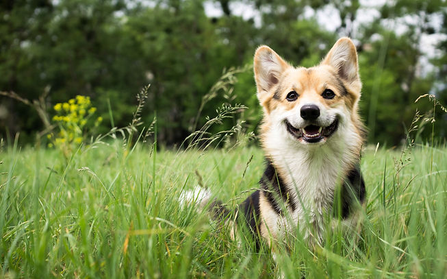 Happy and active purebred Welsh Corgi dog outdoors in the grass on a sunny summer day..jpg