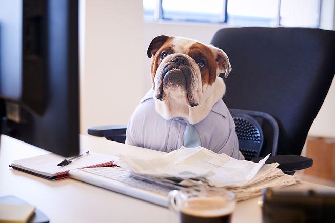 British Bulldog Dressed As Businessman W