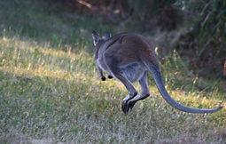 jumping kangaroo.jpg