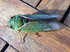 Cicada - green grocer.jpg