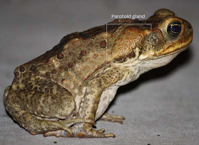 poisonous_gland_cane_toad_garden_guests.