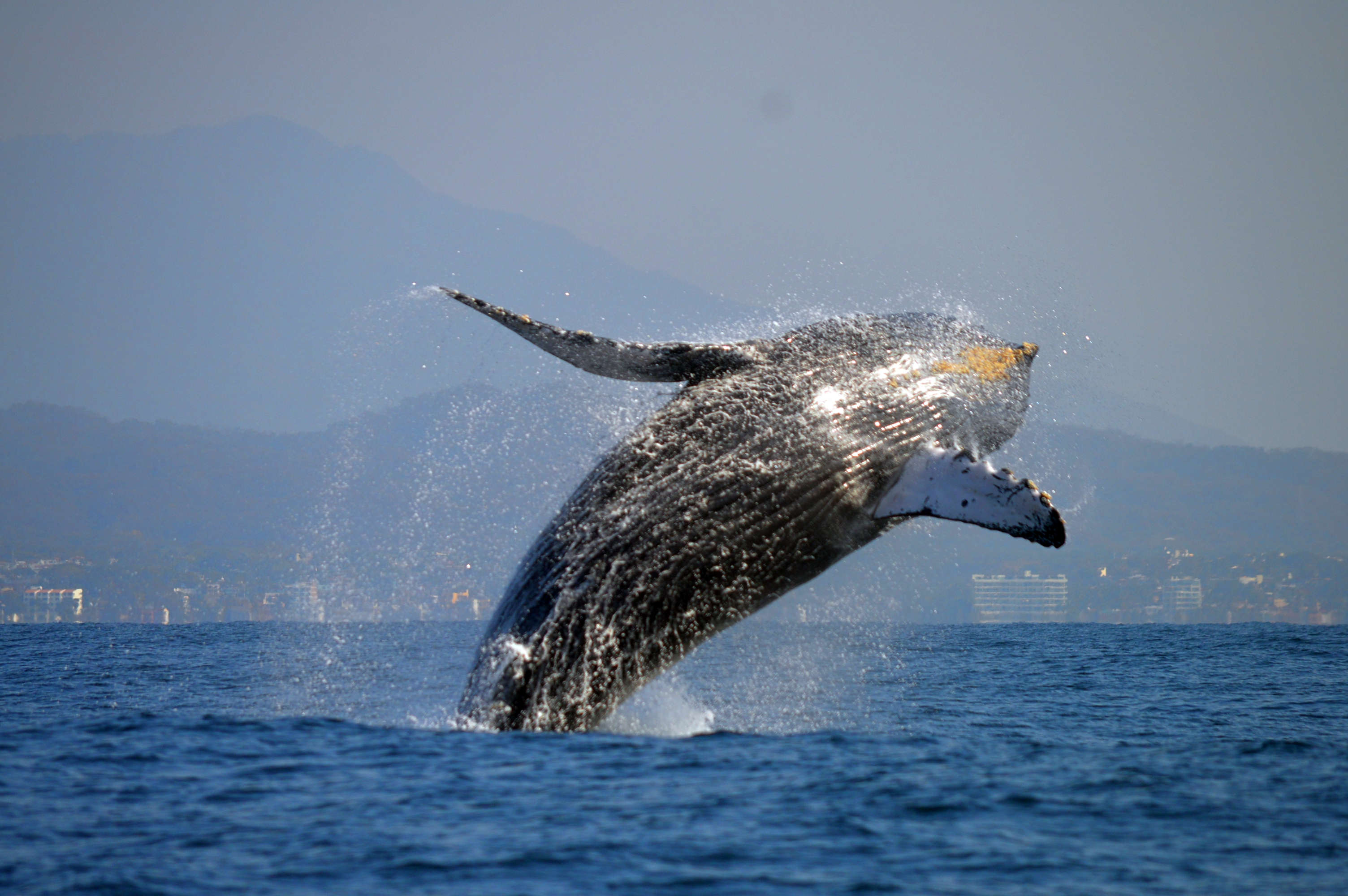Humpback whale- Whale Watching Tour