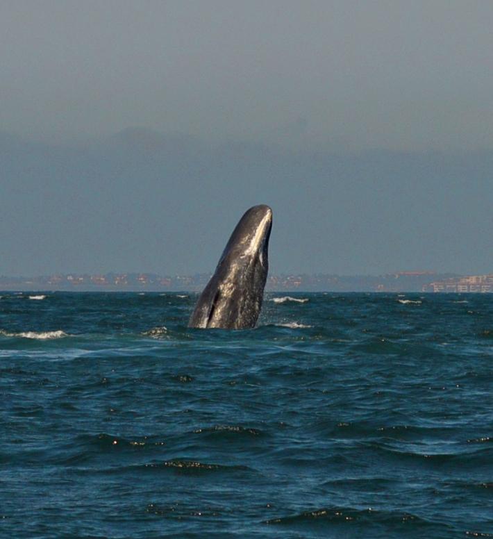 Sperm whale / Cachalote