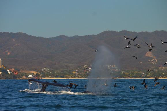 Whales and birds Puerto Vallarta