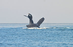 whale watching mexico
