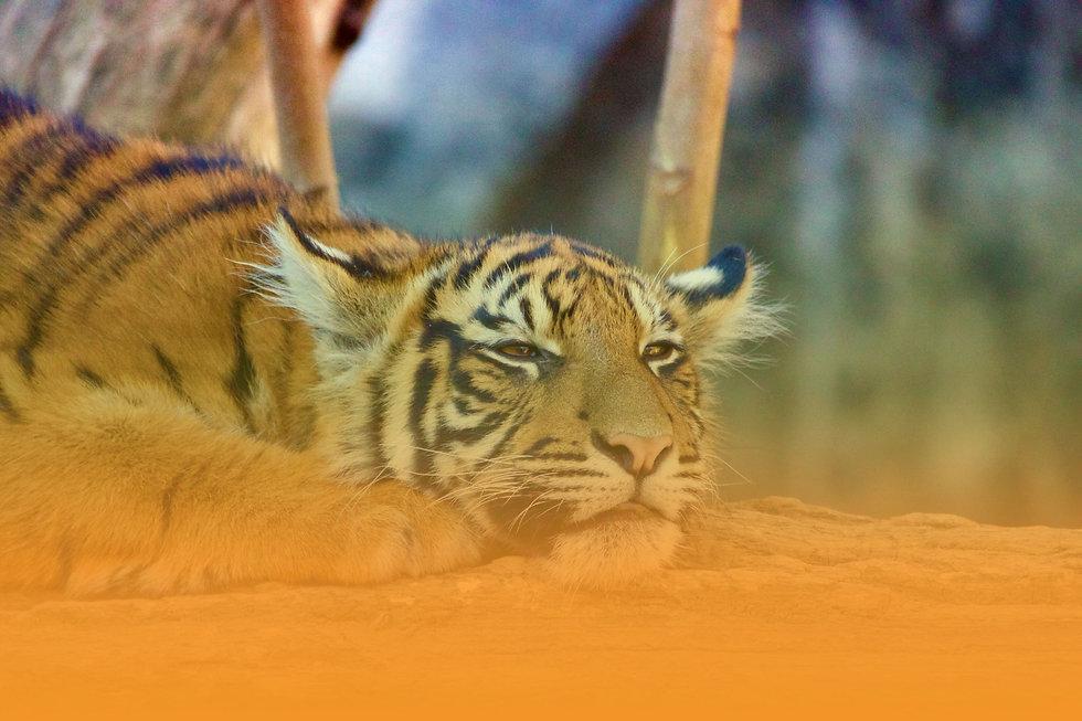 tiger-heat-wave.jpeg