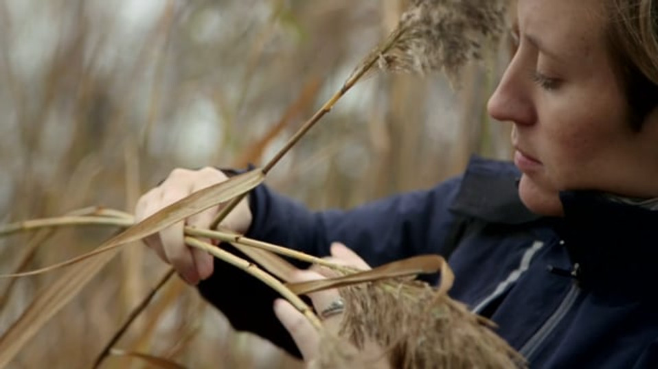 Friends of the Rouge | Invasive Phragmites