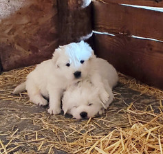 Yellow and Blue Collar Pups (Male)