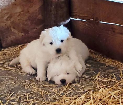 CMD Puppies