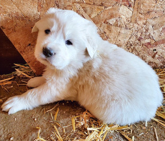 Blue Collar Pup (Male)