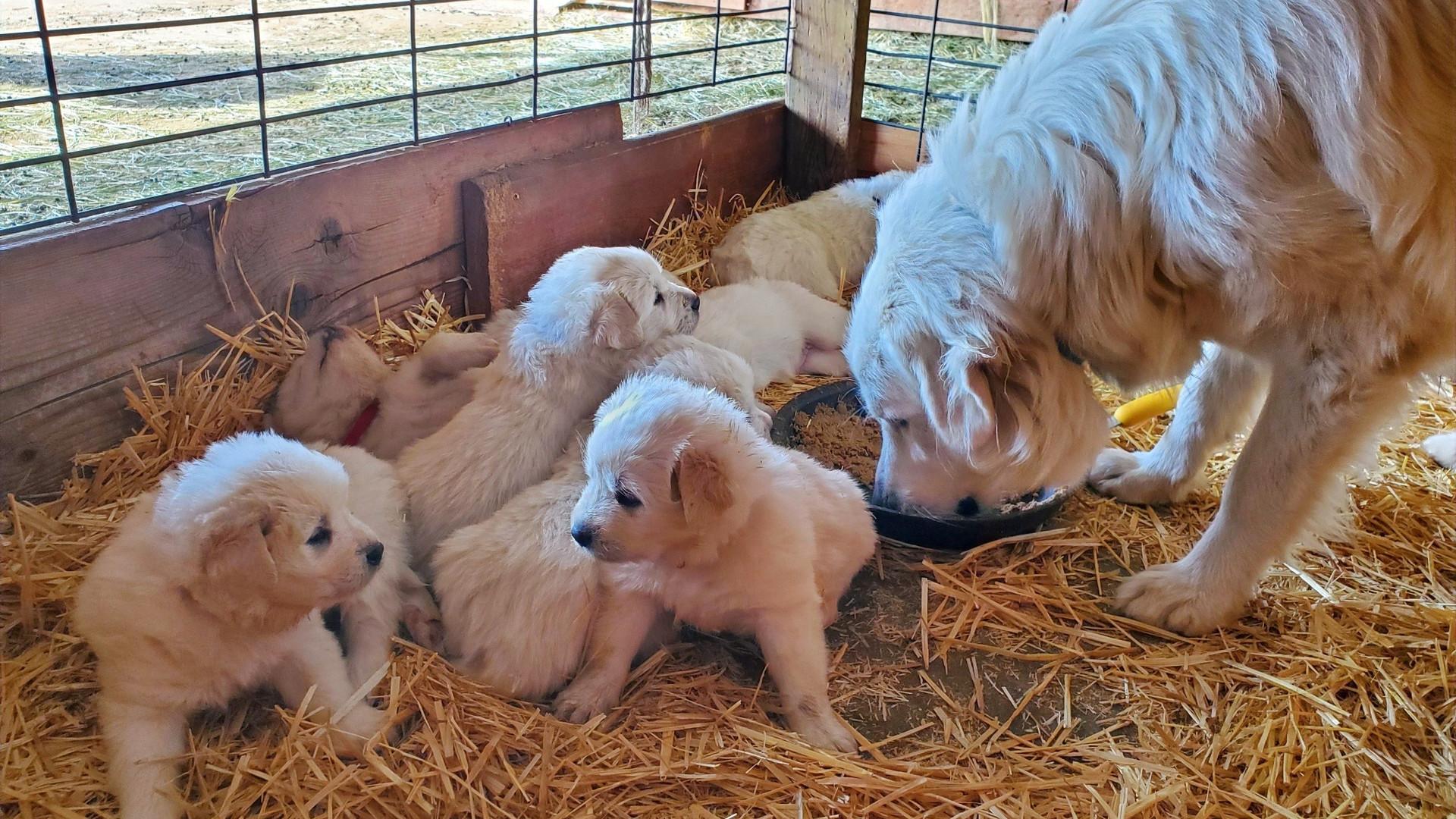 Colorado Mountain Dog LGD Puppies