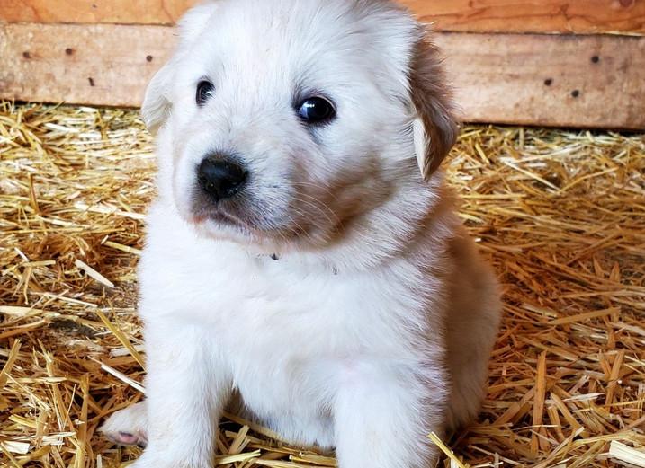Yellow Collar Pup (Male)