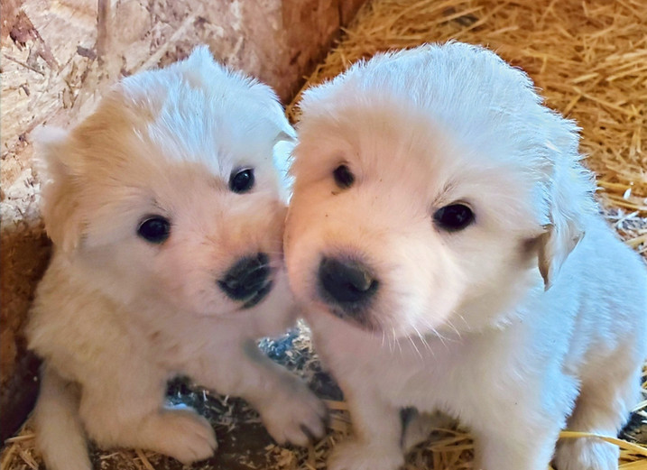 Red and Purple Collar Pups (Females)
