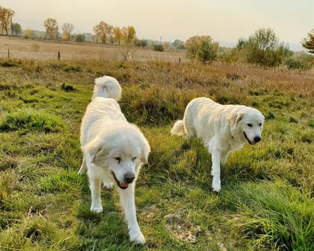CMD Livestock Guard Dogs