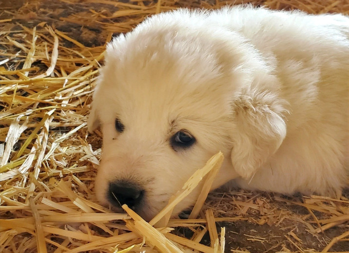 Black Collar Pup (Male)