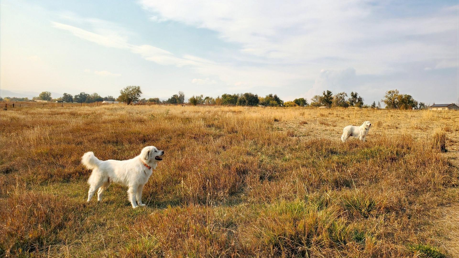 Colorado Mountain Dogs
