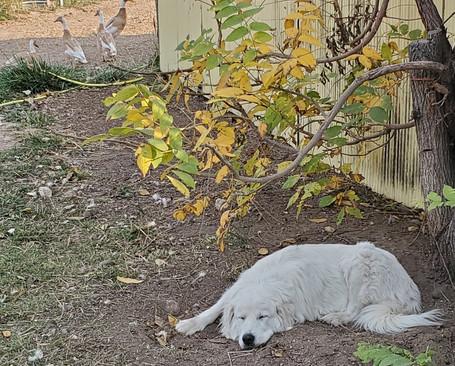 Colorado Mountain Dog LGD