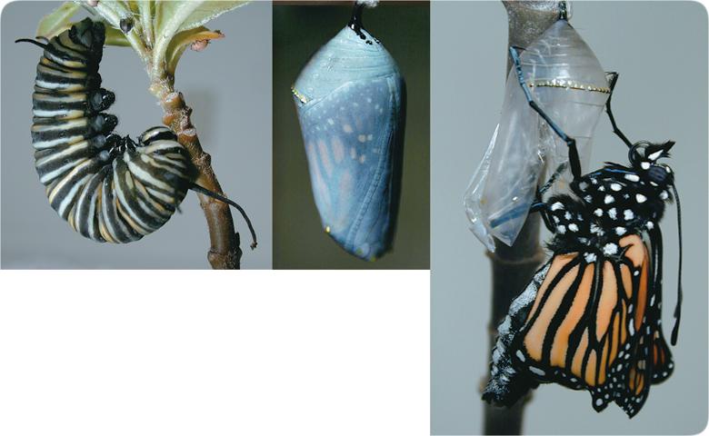 lifesciences-monarch_metamorphosis.jpg