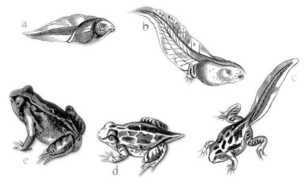 frog_metamorphosis.png