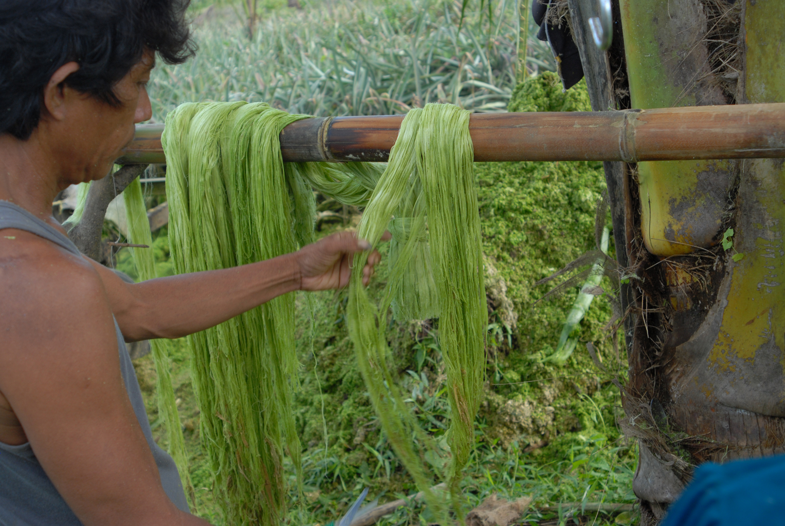 extracting fibres from pineapple leaves .JPG