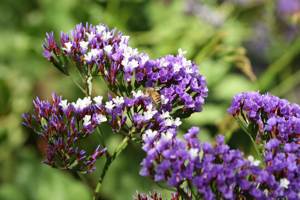 Purple Statice 2