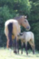 Lusitanien cheval poulain